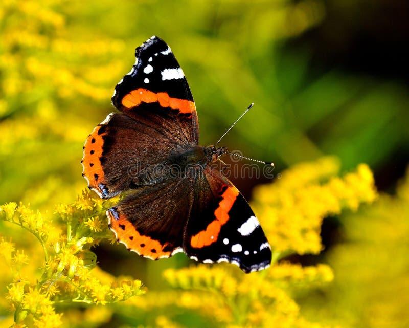 Atalanta diário de Vanessa da borboleta do almirante fotos de stock