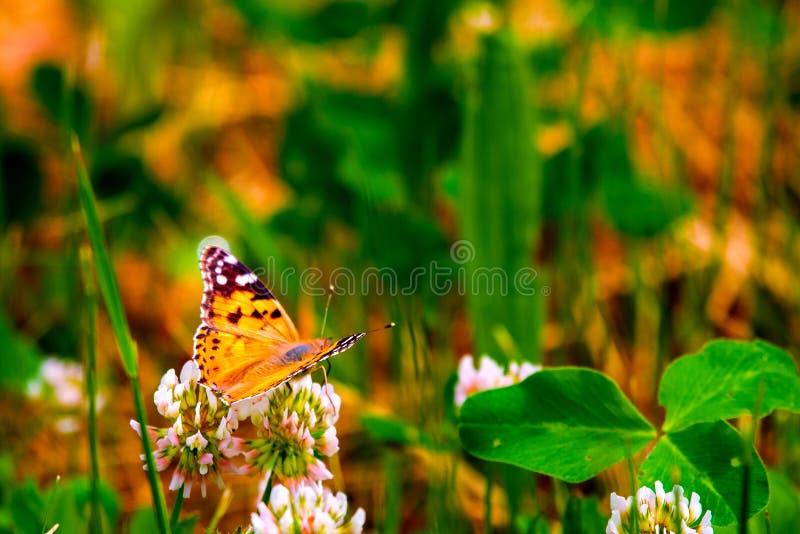 Atalanta för röd amiral som Butterfly - Vanessa sitter på vildblomma royaltyfri foto