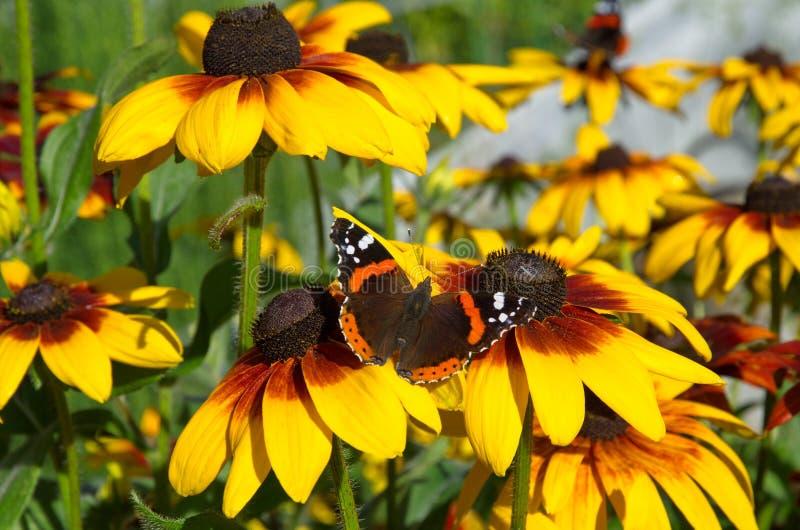 Atalanta van vlindervanessa op de bloemen van rudbeckia royalty-vrije stock afbeelding