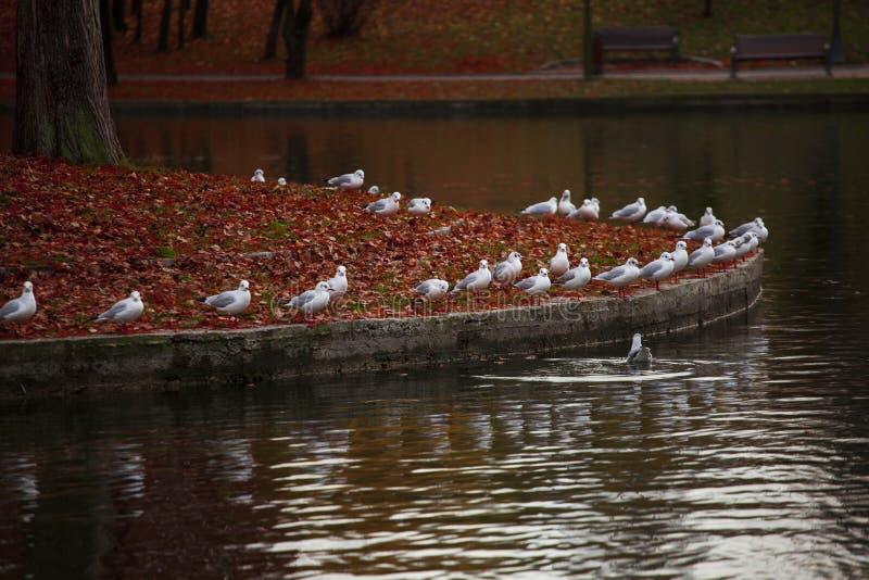 Ataque branco dos pássaros imagem de stock