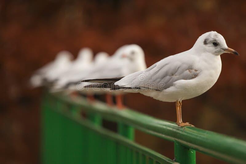 Ataque branco dos pássaros no lago park imagem de stock