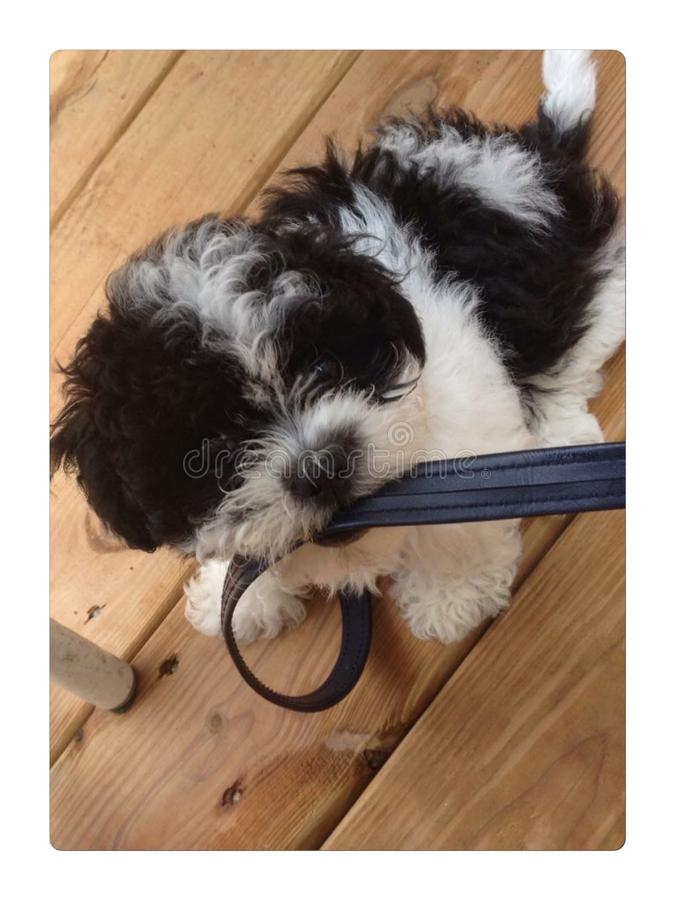 Ataque da lixívia pelo filhote de cachorro fotos de stock royalty free