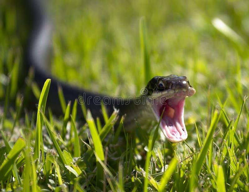 Ataque da serpente imagens de stock royalty free