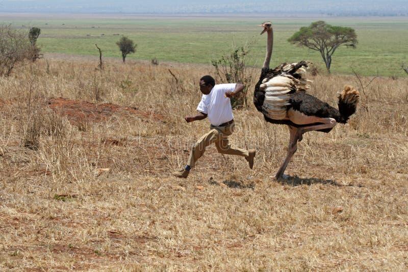 Ataque de la avestruz en el parque nacional de Tarangire en Tanzania imagenes de archivo