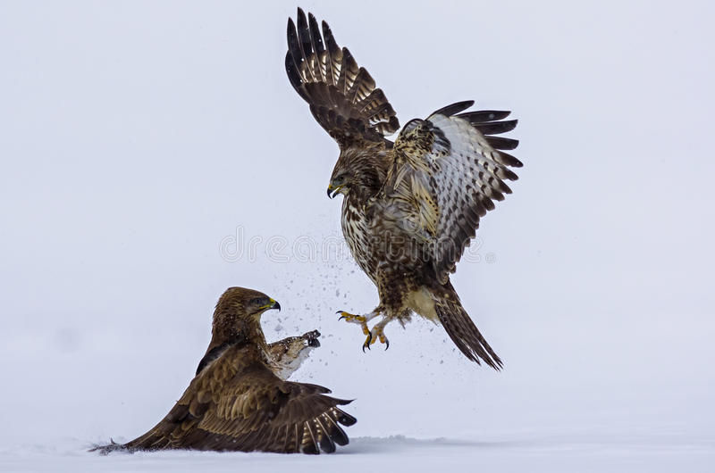 Ataque de um pássaro predatório imagem de stock royalty free