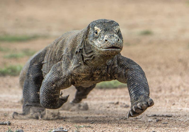 Ataque de un dragón de Komodo El dragón que corre en la arena El dragón de Komodo corriente (komodoensis del Varanus) fotografía de archivo libre de regalías