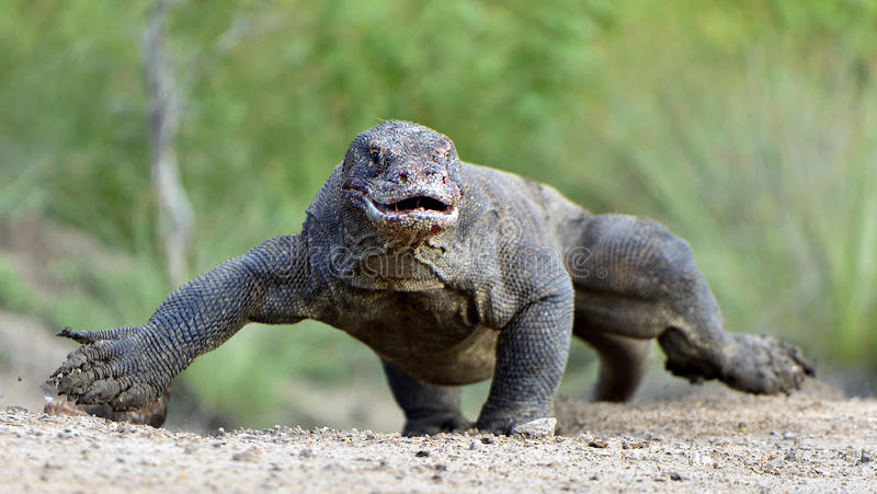 Ataque de un dragón de Komodo El dragón que corre en la arena El komodoensis corriente del Varanus del dragón de Komodo Es la vid imagen de archivo