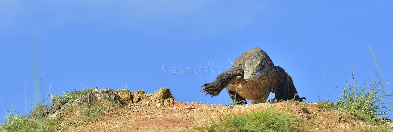 Ataque de un dragón de Komodo imagenes de archivo