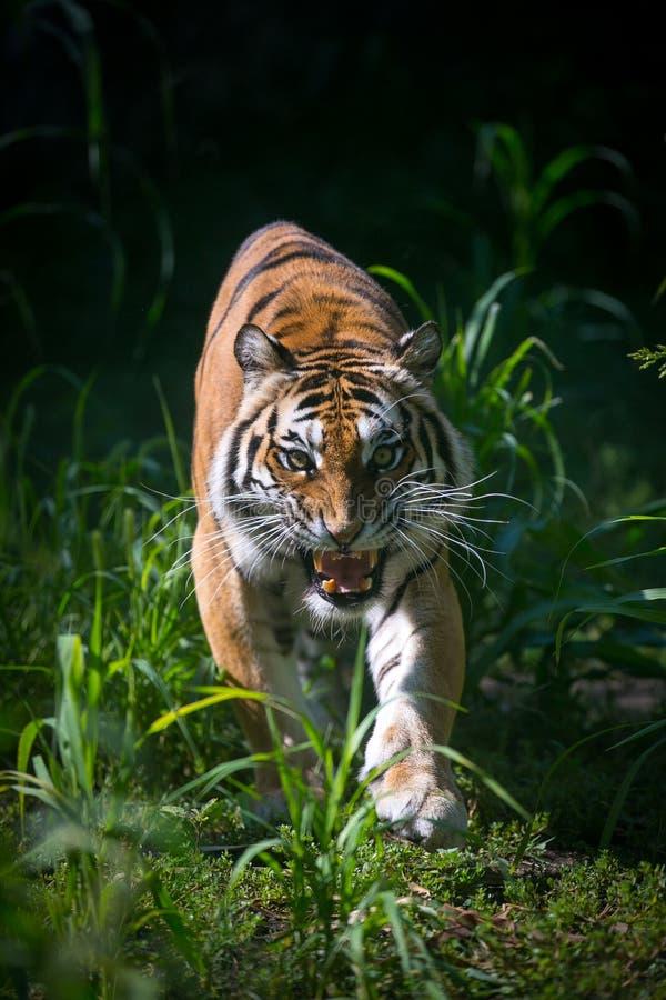 Ataque del ` s del tigre fotos de archivo libres de regalías