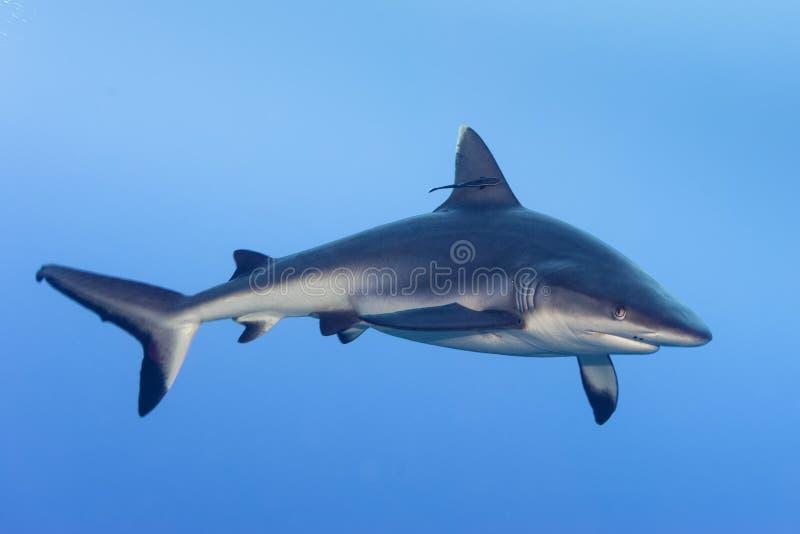 Ataque do tubarão subaquático imagens de stock royalty free