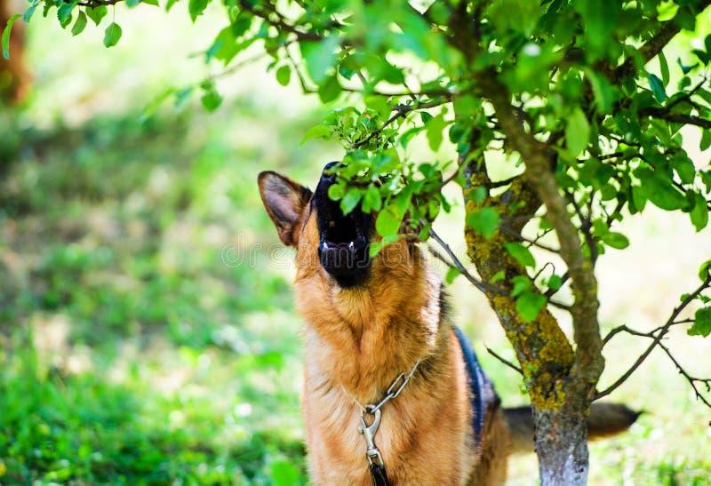 Ataques enojados del perro El perro parece agresivo y peligroso Galgo italiano foto de archivo libre de regalías