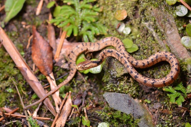 Atayal bot-geleide slang stock afbeeldingen