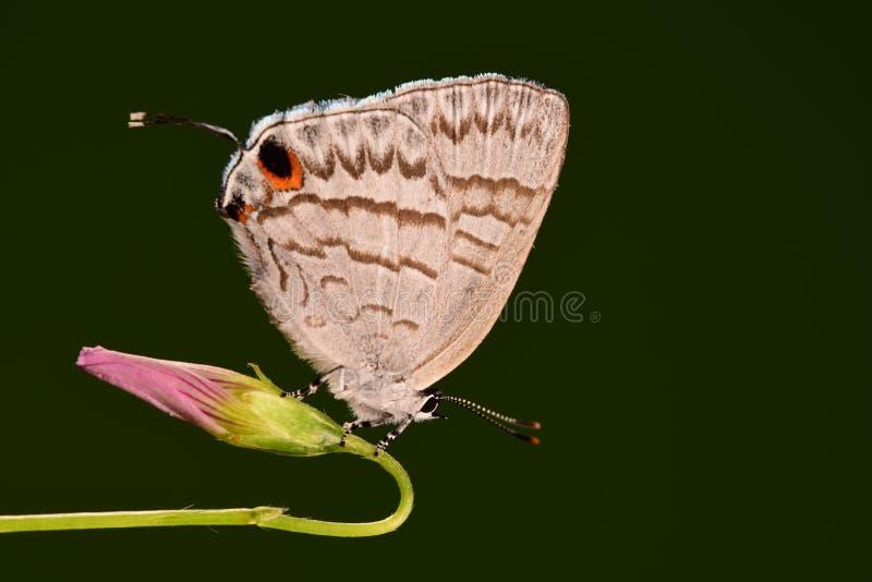 Atayalicus de papillon/Leucantigius photo stock