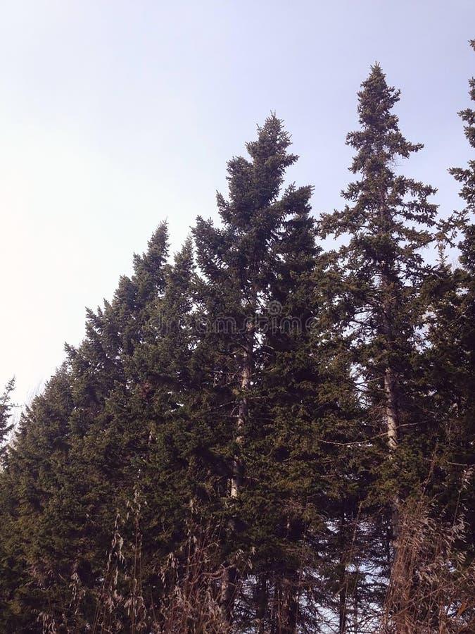 Ate che tende verso l'alto al cielo blu fotografia stock libera da diritti