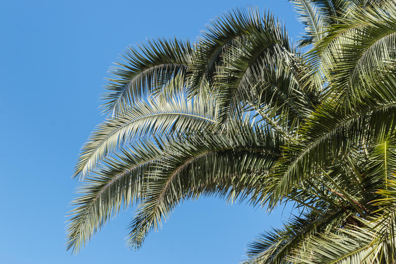 Ate palm tree leaves against blue sky. Isolated date palm tree leaves against blue sky stock image