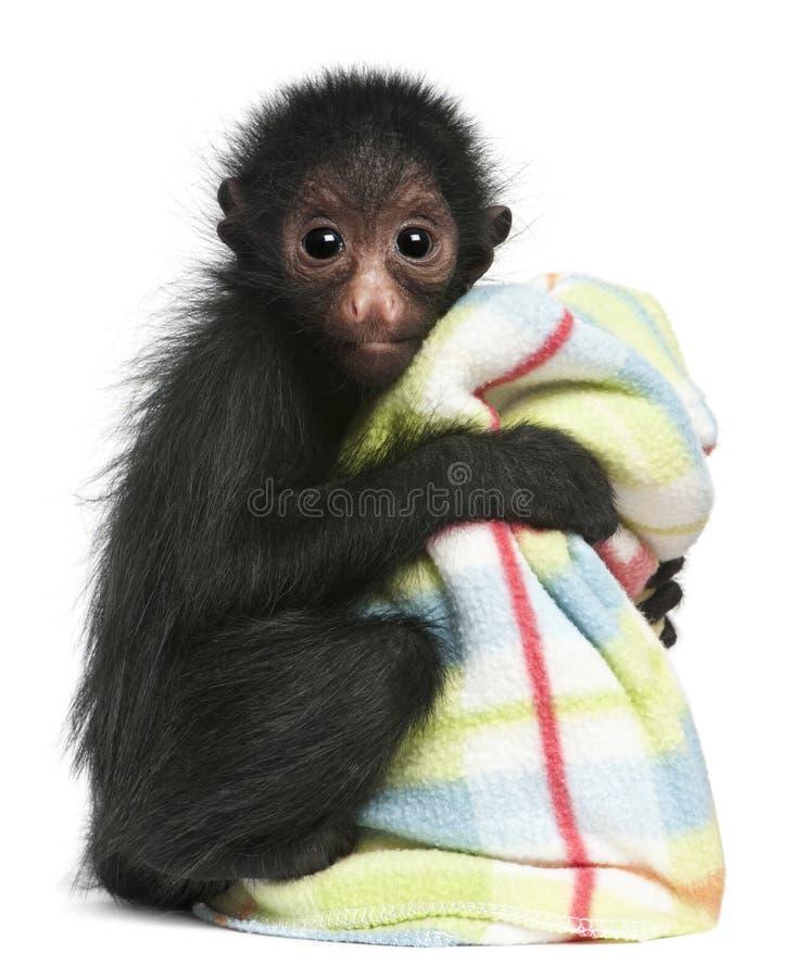 ateles смотрел на спайдер paniscus обезьяны красный стоковое изображение