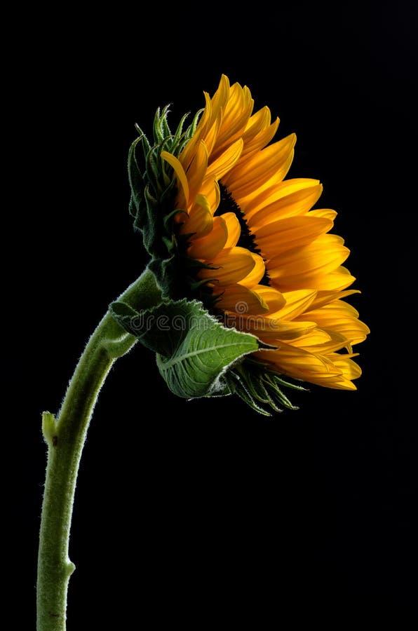 Atelieraufnahme einer großen schönen Sonnenblume auf schwarzem Hintergrund stockbild