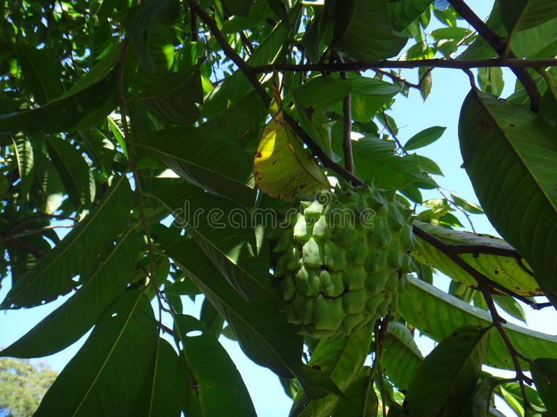 Atemoya - Fruit. The atemoya is a hybrid fruit that is obtained through the crossing of the cherimoya & x28;Annona cherimola, Mill& x29; with the pineapple fruit royalty free stock photos