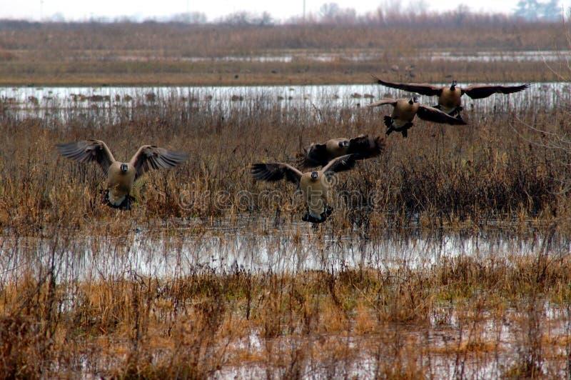 Aterragem canadense dos gansos fotografia de stock