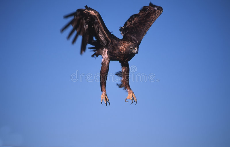 Aterragem da águia dourada imagem de stock royalty free