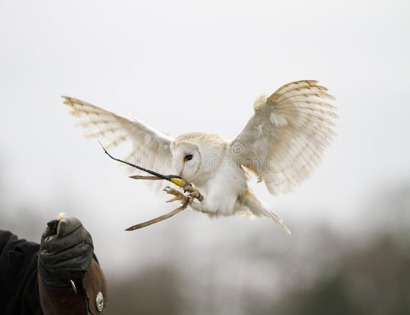 Aterragem da coruja de celeiro foto de stock royalty free