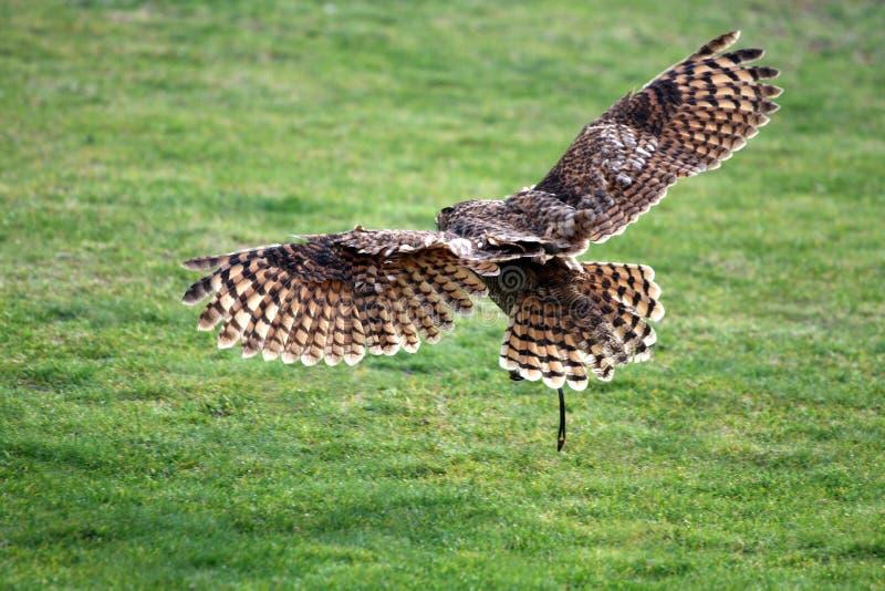 Aterragem da coruja de celeiro fotografia de stock royalty free