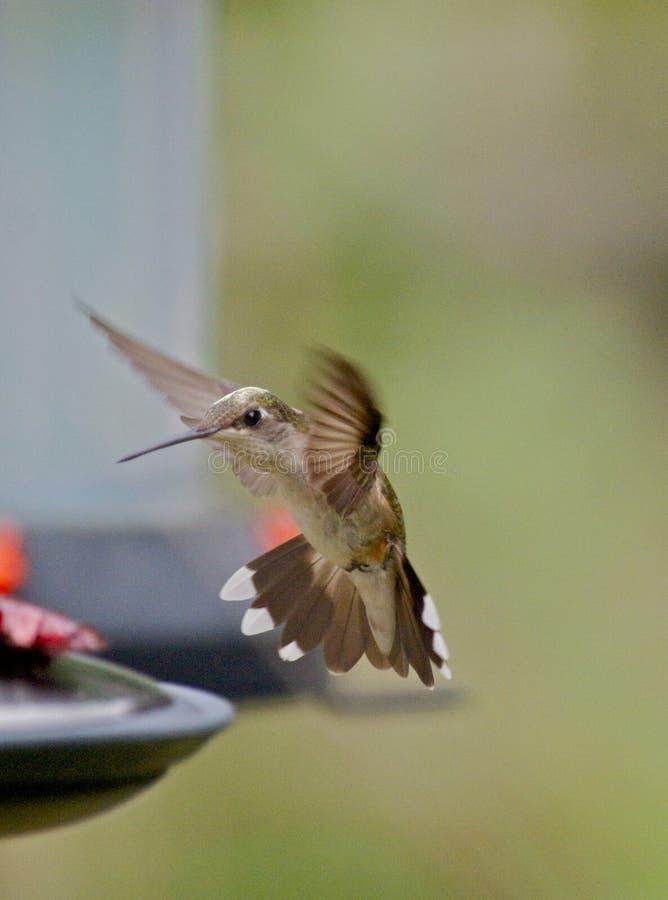 Aterragem do colibri foto de stock royalty free