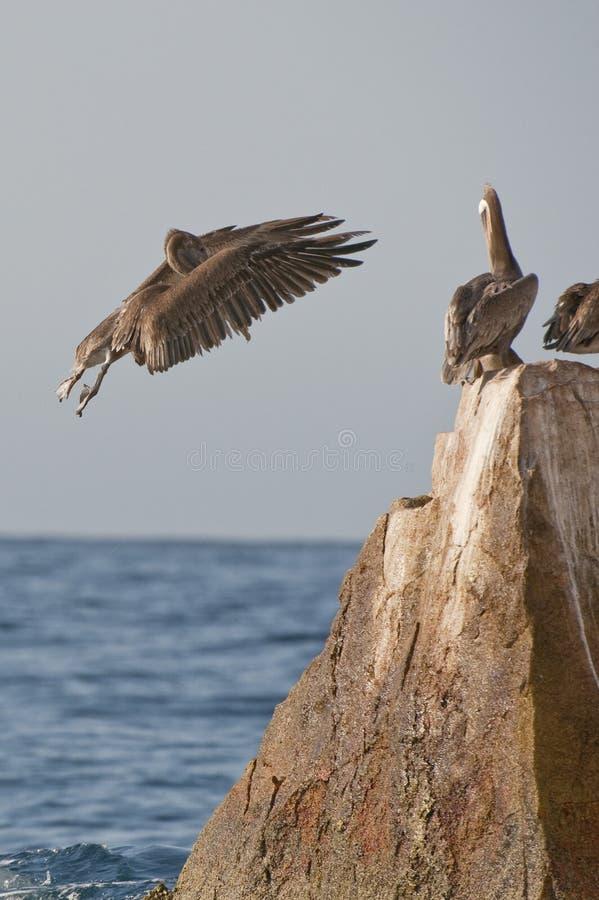 Aterragem do pelicano em rochas fotografia de stock royalty free