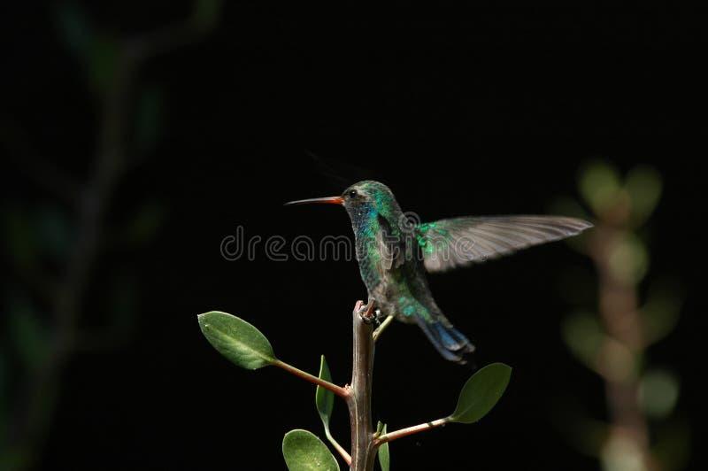 Aterragem pairando do colibri imagens de stock royalty free