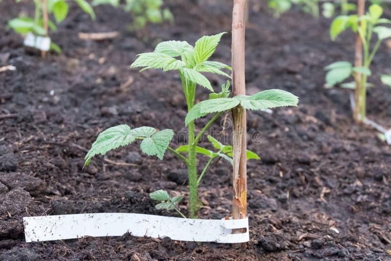 Aterrando uma planta nova da framboesa no jardim fotos de stock royalty free