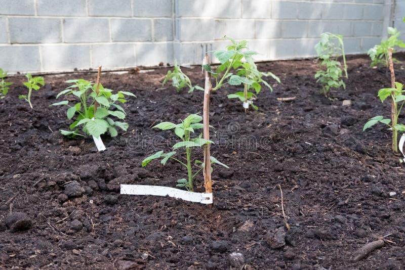 Aterrando uma planta nova da framboesa no jardim foto de stock