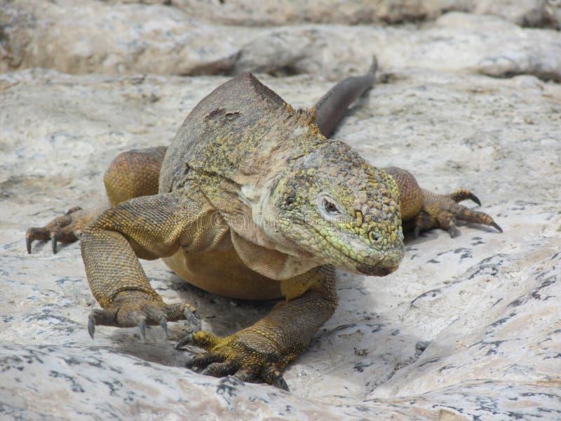Aterre a iguana foto de stock royalty free