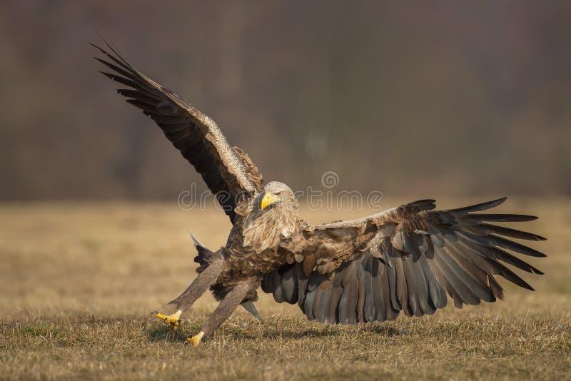 Aterrissagem atada branco da águia imagens de stock royalty free