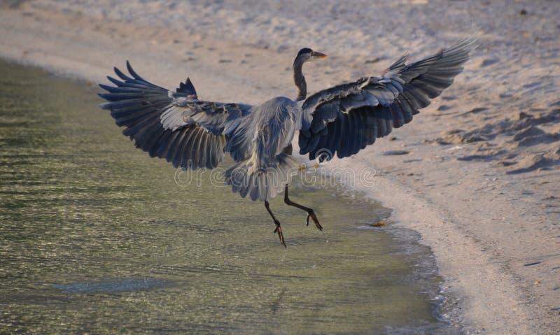 Aterrissagem azul da garça-real na praia do chacal em Baja California del Sur, México imagens de stock