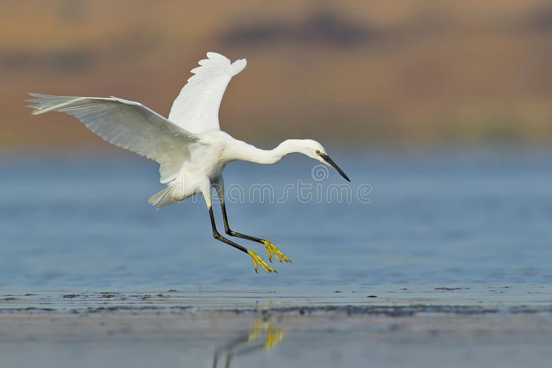 Aterrissagem branca do egret na água imagem de stock royalty free