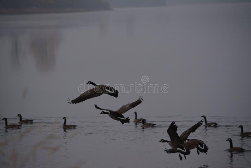 Aterrissagem canadense da água do ganso fotografia de stock