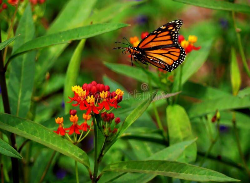 Aterrissagem da borboleta em uma flor foto de stock