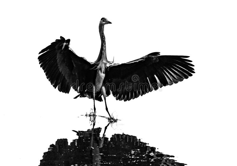 Aterrissagem da garça-real na água imagem de stock royalty free