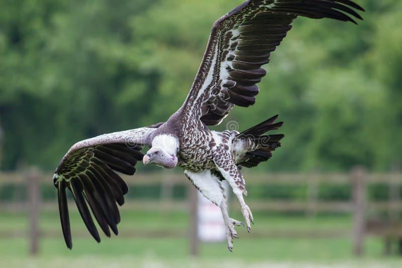 Aterrissagem do abutre Voo africano do pássaro do limpador no fim acima com imagens de stock royalty free