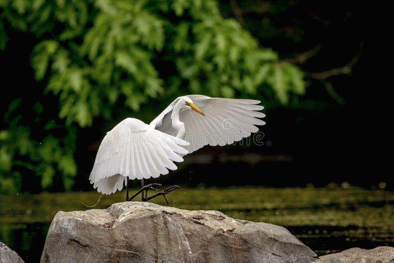 Aterrissagem do Egret nevado em uma rocha foto de stock