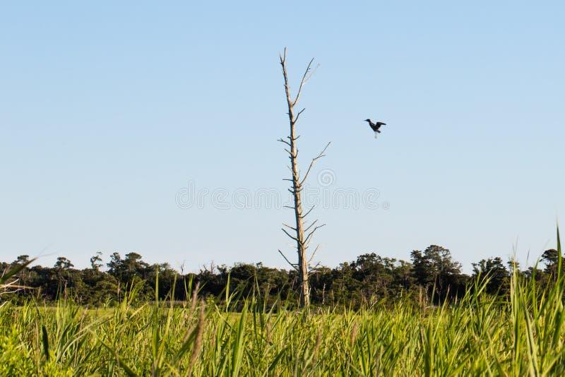 Aterrissagem do pássaro no ramo de pinheiro inoperante imagens de stock