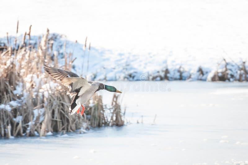 Aterrissagem do pato no gelo fotos de stock