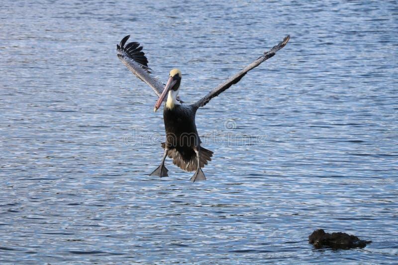 Aterrissagem do pelicano imagem de stock royalty free
