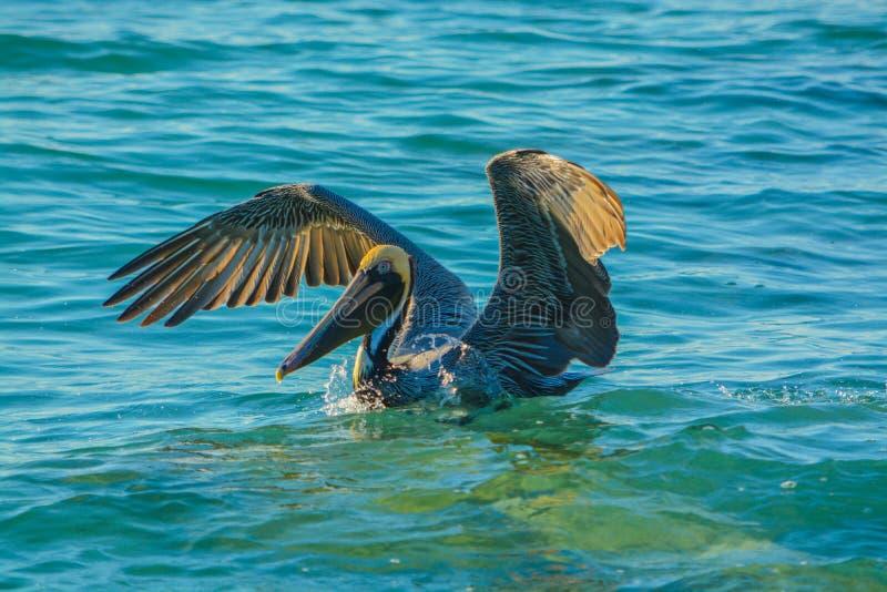Aterrissagem do pelicano após a pesca do mergulho fotografia de stock royalty free