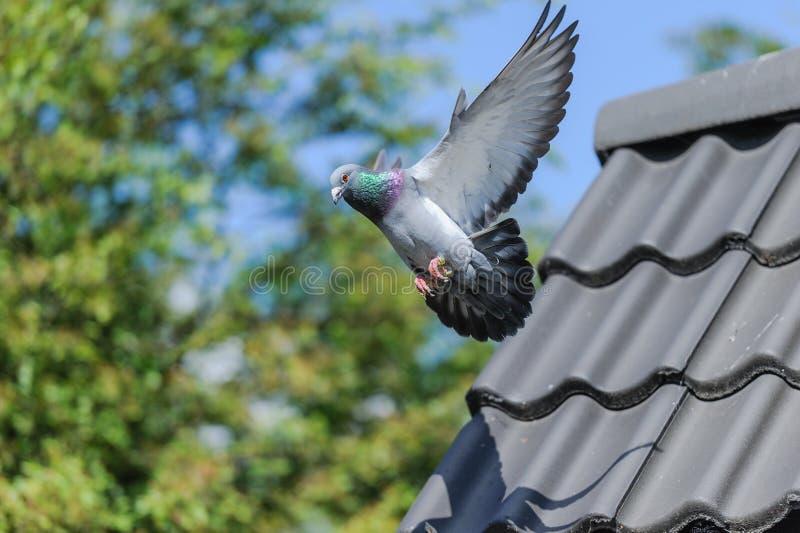 Aterrissagem do pombo de competência com as asas espalhadas largamente imagens de stock
