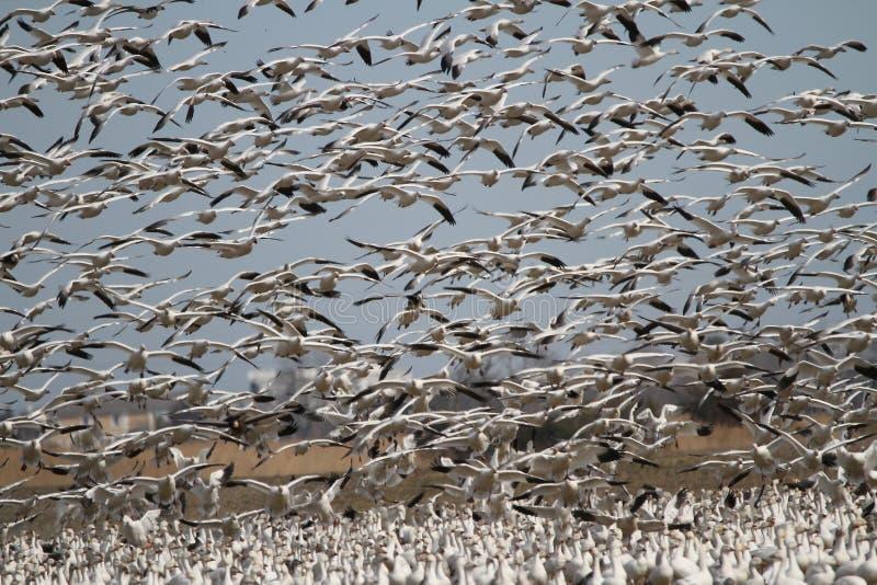 Aterrissagem dos gansos de neve foto de stock royalty free