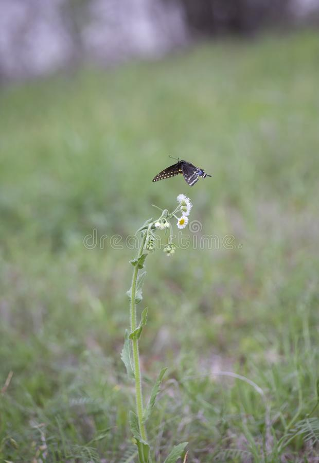 Aterrissagem preta da borboleta do swallowtail imagem de stock