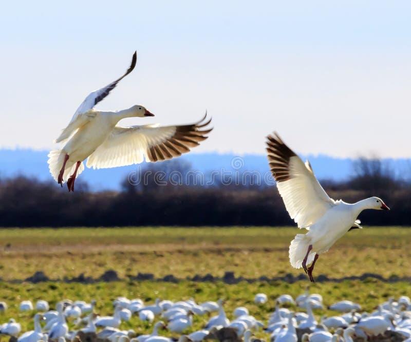 Aterrissagem prolongada das asas dos gansos de neve imagem de stock royalty free