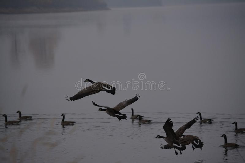Aterrizaje canadiense del agua del ganso fotografía de archivo