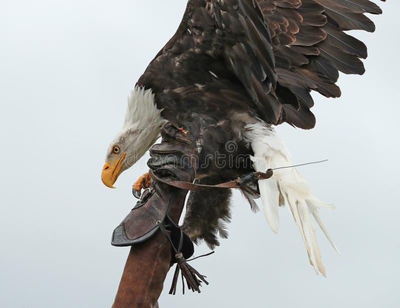 Aterrizaje de Eagle calvo en un guante del ` s del halconero imagen de archivo